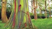eucalyptus-tree1