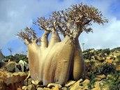 socotra-island-tree